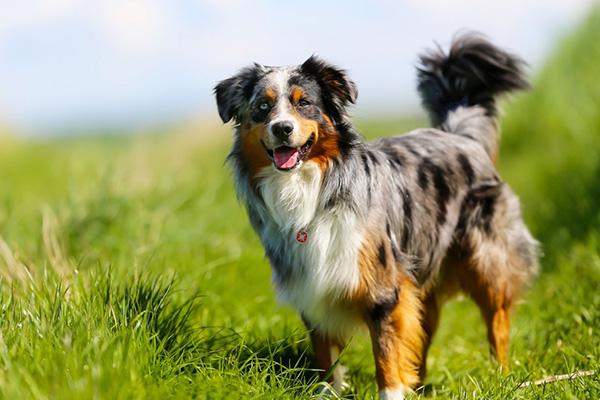 สุนัขพันธุ์ที่สามารถเอามาฝึกง่ายที่สุด